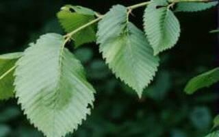 Дерево вяз гладкий описание и особенности выращивания