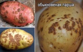 Проверенные методы борьбы от парши картофеля