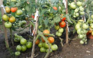 Томат катя описание урожайность особенности посадки и ухода