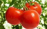 Дрожжи как удобрение для томатов