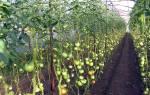 Чем болеют помидоры в теплице и как их лечить?