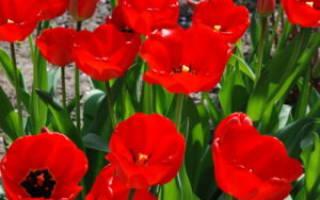 Особенности выращивания карпентерии в саду