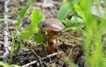 Виды съедобных лесных грибов с названиями описанием фото