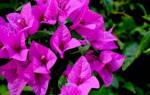 Бугенвиллия особенности выращивания и ухода за комнатным растением