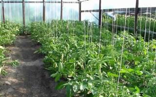 Выбираем низкорослые сорта томатов для теплиц