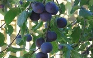 Как вырастить сливу в ленинградской области советы опытных агрономов