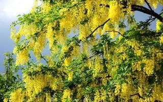 Выращивание акации желтой на дачном участке