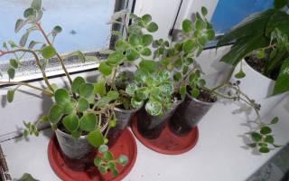 Выращивание аихризона как вырастить дерево любви в домашних условиях