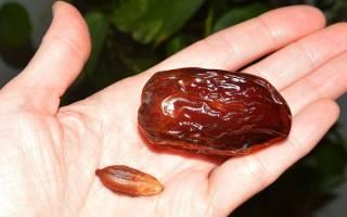 Как правильно вырастить финиковую пальму из косточки в домашних условиях