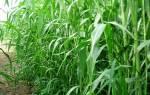 Выращивание и уборка сорго на зеленый корм силос и сено