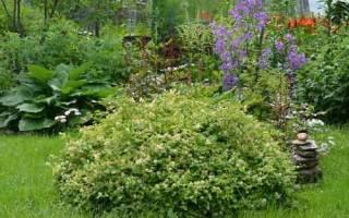 Особенности выращивания стефанандры на садовом участке