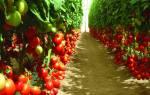 Томат краснобай рекордноурожайный среднепоздний и индетерминантный