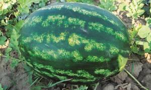 Выращивание арбуза астраханского в открытом грунте секреты огромного урожая