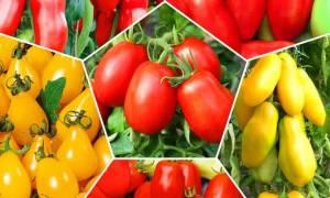 Томат перцевидный гигант  особенности для высокой урожайности
