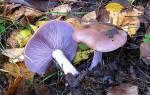 Как выглядят можно ли есть и как приготовить фиолетовые рядовки