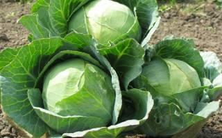 Капуста белокочанная лучшие сорта для выращивания с описанием и фото