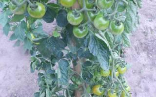 Как вырастить помидоры черри в открытом грунте