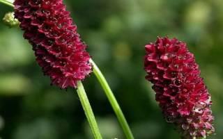 Лекарственное растение кровохлебка польза и вред для организма