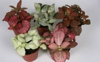 Уход за декоративным растением фиттония микс в домашних условиях