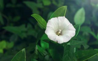 Как вырастить калистегию в открытом грунте