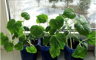 Выращиваем огурцы на подоконнике практичные советы