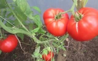 Лучшие сорта томатов для подмосковья с фото и описанием