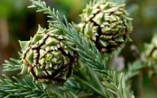 Криптомерия как вырастить японский кедр в саду