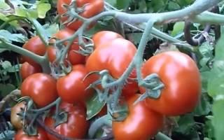 Томат гулливер f1  раннеспелый плодоносный выносливый сорт