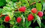 Все тонкости выращивания нолины в домашних условиях