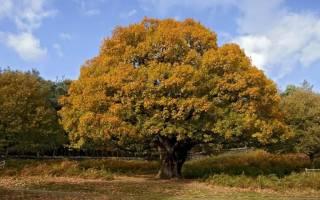 Популярные виды дуба фото описание характеристика