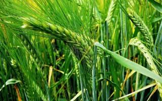 Какие существуют способы посева ячменя озимого?
