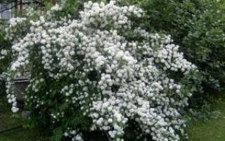Тонкости выращивания чубушника у себя на участке