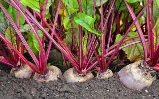 Особенности выращивания свеклы в открытом грунте