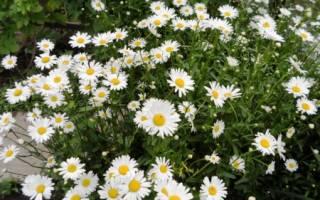 Лечебные и садовые виды ромашек с описанием и фото