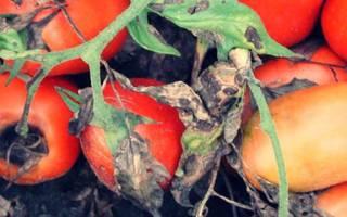 Описание и лечение альтернариоза на помидорах