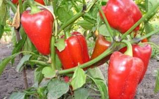 Как вылечить листья сладкого перца от оэдемы причины появления болезни