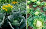 Как лечить и предотвратить болезни капусты