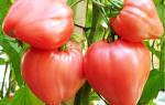 Помидоры воловье сердце характеристика секреты успешного выращивания
