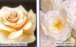 Разделение роз по классам и группам