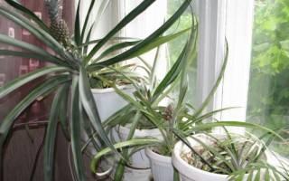 Секреты выращивания ананаса в домашних условиях