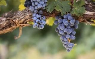 Вино изабелла особенности приготовления в домашних условиях