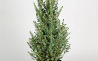 Посадка и уход за пихтой как вырастить новогоднее дерево
