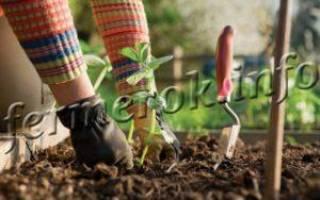Особенности удобрения баклажанов после высадки в грунт