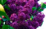 Как правильно посадить и вырастить персидскую сирень в саду