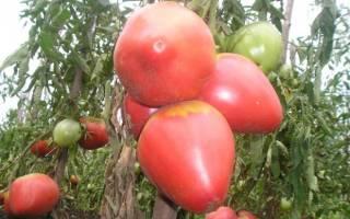 Урожайность и особенности выращивания помидор сорта розовый фламинго