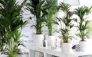 Как ухаживать за ховеей форстера выращивание комнатной пальмы