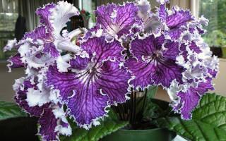 Выращивание стрептокарпеллы в домашних условиях