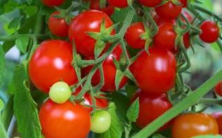 Помидоры интуиция характеристика секреты успешного выращивания