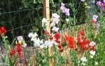 Полезные советы по выращиванию душистого горошка в домашних условиях