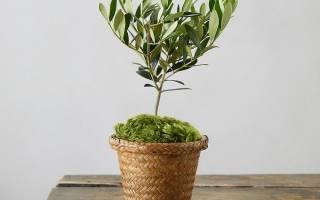 Как ухаживать за оливковым деревом в домашних условиях